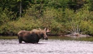 Baxter Park moose