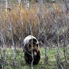 GTNP Bear