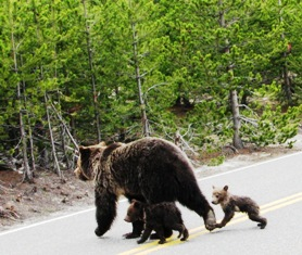 Yellowstone bear and cubs