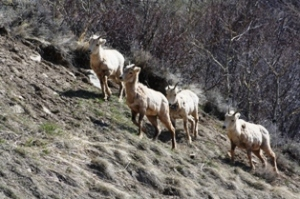Mountain sheep, Slide Lake