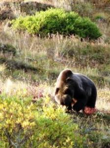 Denali Bear