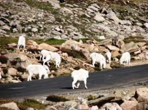 Mt Evan Goats