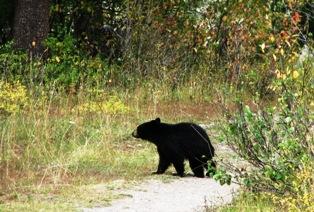 Grand Teton Bear