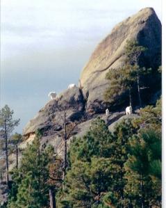 Mt Rushmore goats