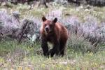 Lupine Bear