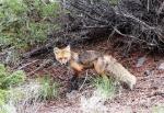 YNP Fox