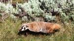 YNP Badger