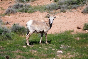 Female Bighorn sheep
