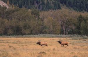 Two bull elk