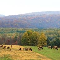 Elk herd in Winslow Hill
