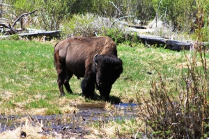 Lost Lake Bison