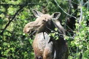 Jenny Lake Moose