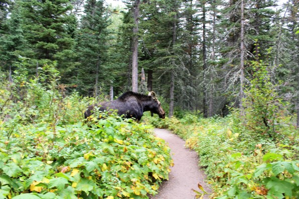Moose on Running Eagle Falls trail
