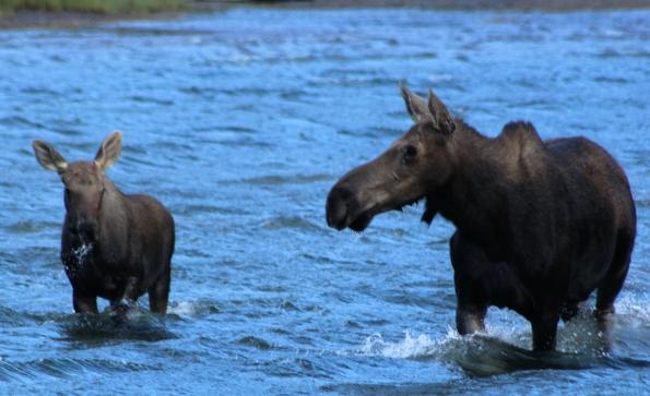 Fishercap Lake Moose
