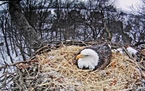 Hanna waiting to become an eagle Mama