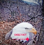eagle fact with arrow pointing right