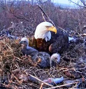 Hanna with eaglets