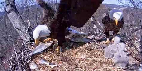 Codorus Eagle family