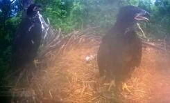 Blurry eaglet growth