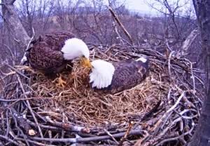 Eagle love