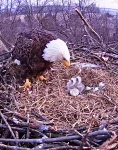 Eaglets are here!!
