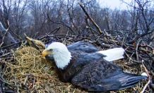 Hanna protecting the new eaglets in rainstorm