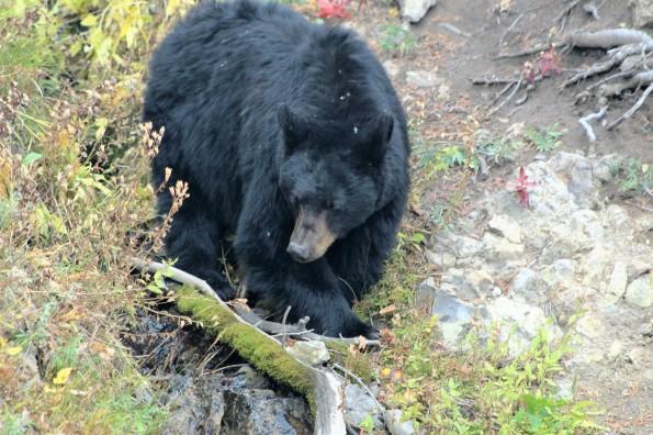 Dunraven Pass Bear