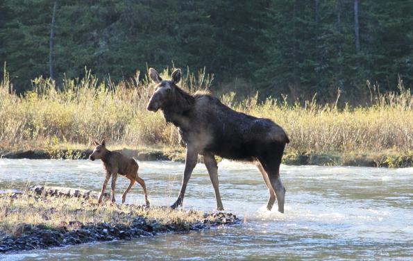 Cooke City Moose