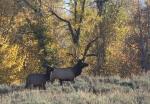 Sept 2016 Elk
